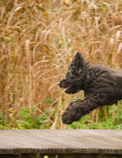 australijski-labradoodle-pies