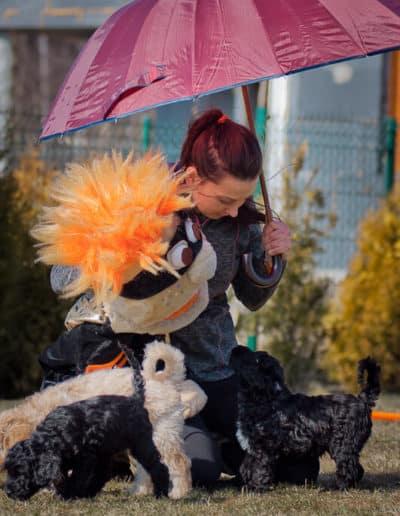 Australian Labradoodle - my sie parasola nie boimy