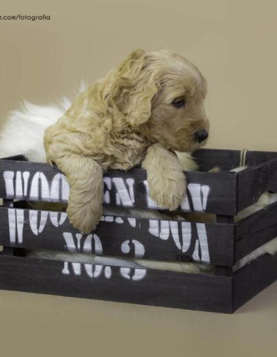 Australian Osmo Labradoodle in a box