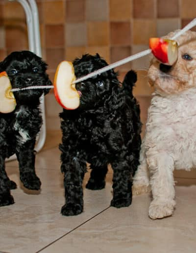 Australijskie Labradoodle jedza jablka