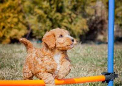 Australian Labradoodle on the agility track