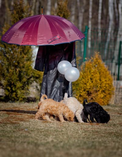 Australian Labradoodle under an umbrella