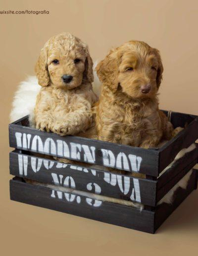 Australijskie Labradoodle rodzenstwo w pudle
