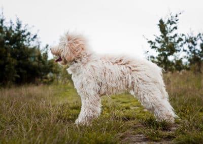 Nessie the Australian Labradoodle bokiem