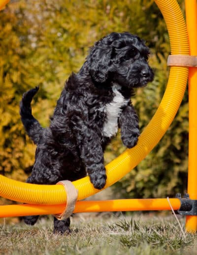 Labradoodle puppies jump through the hoop