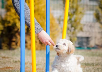 Labradoodle puppy during exercises
