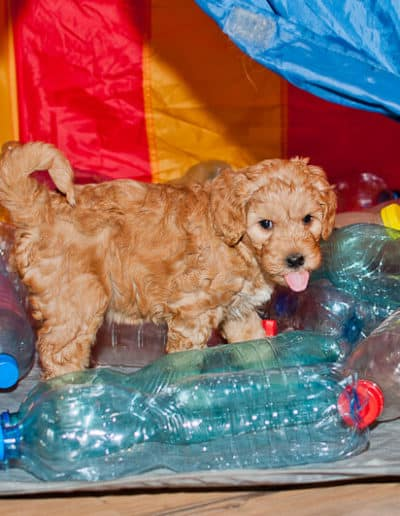 Fun labradoodle in a tent