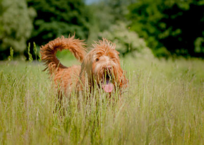 Australian Labradoodle Benji in the grass