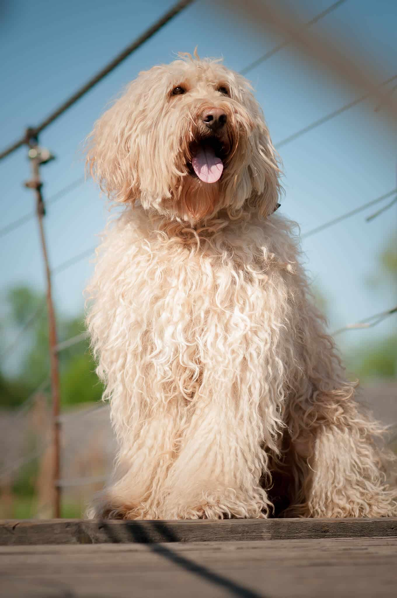 The Australian Labradoodle Gadi stands overlay
