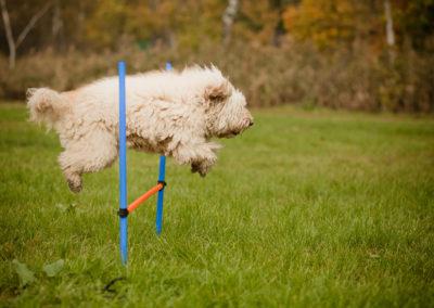 Australian Labradoodle agility