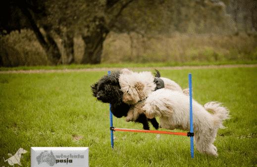 Labradoodle agility