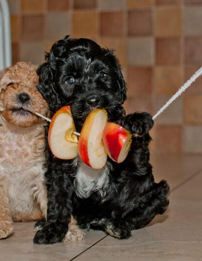 Szczeniaki Labradoodle wcinają jabłko