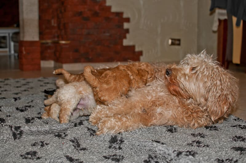 Labradoodle puppies are eating their mother's milk